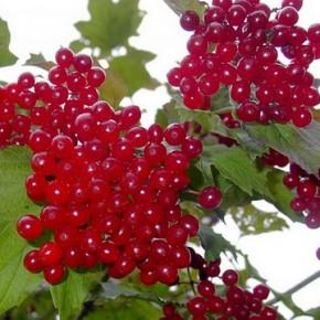 Калина красная (обыкновенная) – свойства, рецепты