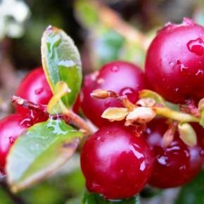 Лесные ягоды и женское здоровье