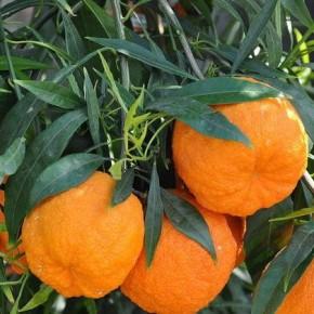 Померанец, горький апельсин