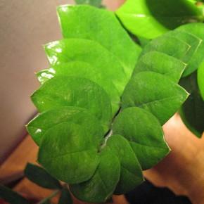 Долларовое дерево: описание, разведение, уход