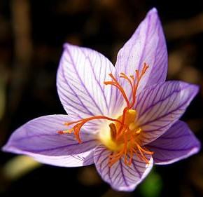 Шафран – самая дорогая пряность в мире