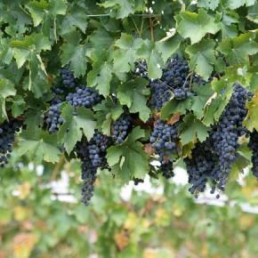 Виноград для лица. Омолаживающие маски