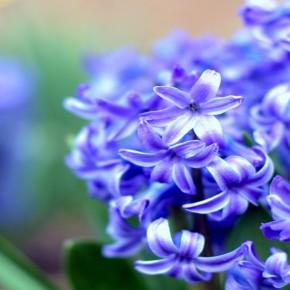Гиацинт – цветок дождя