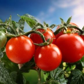Поможем кишечнику помидорами