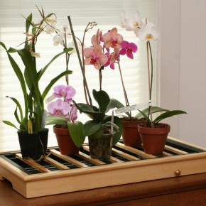Как правильно ухаживать за требовательной орхидеей?