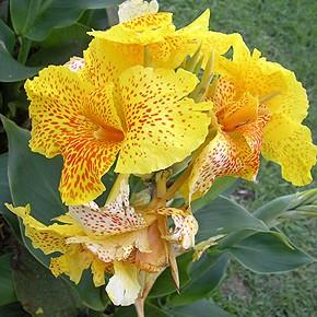 Канны — эффектное украшение для цветников