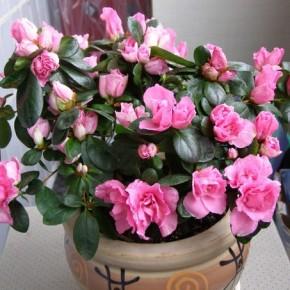 Азалия. Как выбирать цветок. Секреты ухода