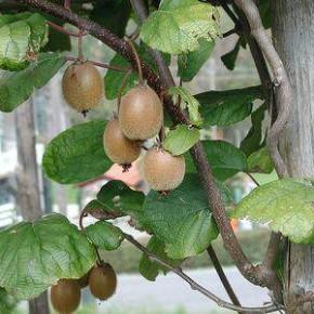 Выращиваем киви из семян