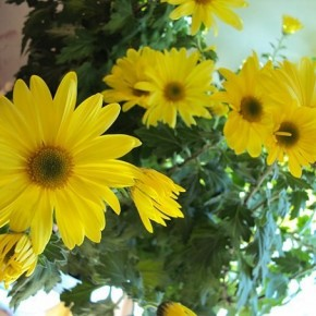 Как вырастить комнатную хризантему
