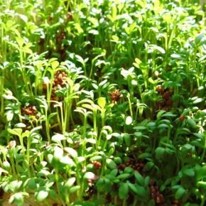 Лекарственные травы на подоконнике
