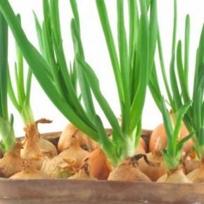 Выращиваем зеленый лук на подоконнике за короткий срок