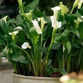 Как правильно выращивать каллы в домашних условиях?