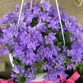 Колокольчик комнатный – растение для дома