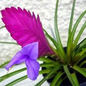 Тилландсия – экзотическое комнатное растение