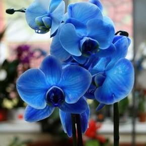Японцы вывели первую в мире голубую орхидею