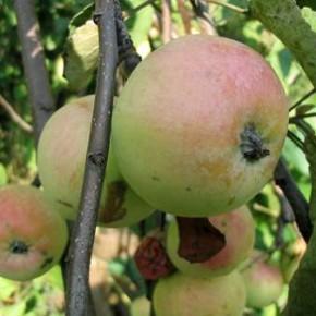 Отчего гниют плоды?