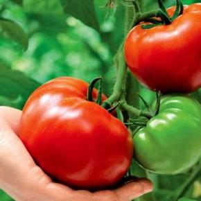 Уход за томатами в разгар лета