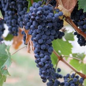 Лечебные виноградные косточки