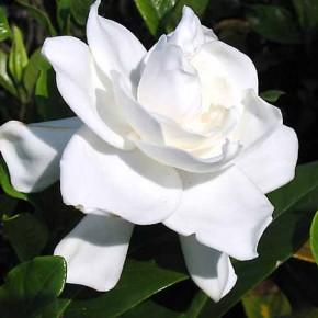 Гарденія (Gardenia) - догляд за цією красунею