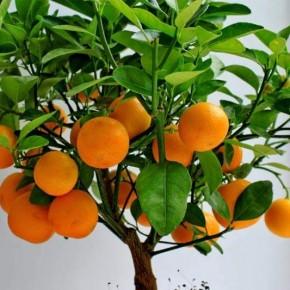 Выращиваем мандарины дома